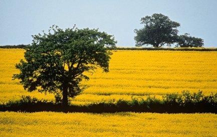 Mustard field in England