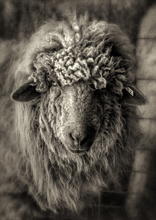 navajo sheep_bw