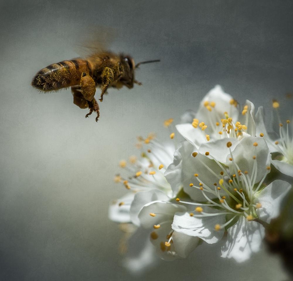 bee_plum-blossom