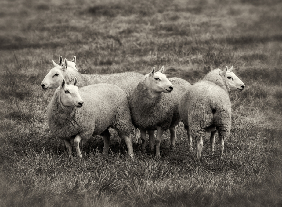 chevoit-sheep-group