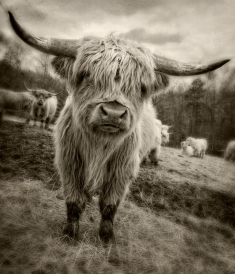 highland-bull