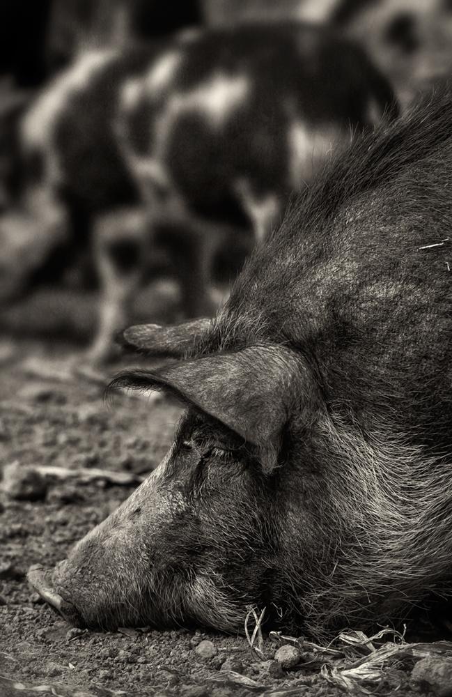 hog-snout_bw