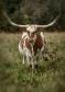 longhorns_11b
