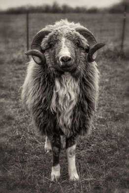 ram-in-pasture