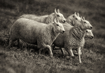sheep-dogs_2012_4_bw
