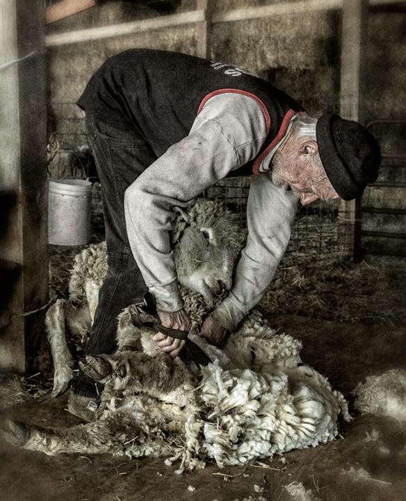 sheep-shearing_2014_11