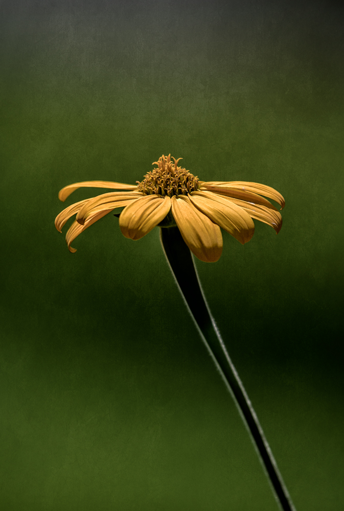 single-sunflower