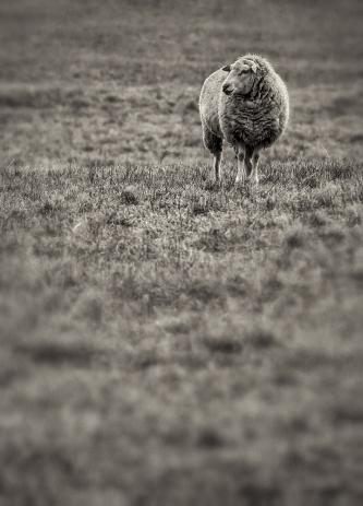 solitary-sheep_bw
