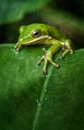 squirrel-treefrog_3