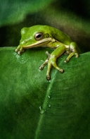squirrel-treefrog_3