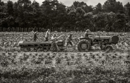staking-tomatoes