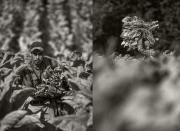 tobacco-harvest_2016_group