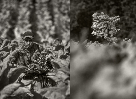 tobacco-harvest_2016_group