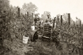 zimmerman_merlot-harvest_1