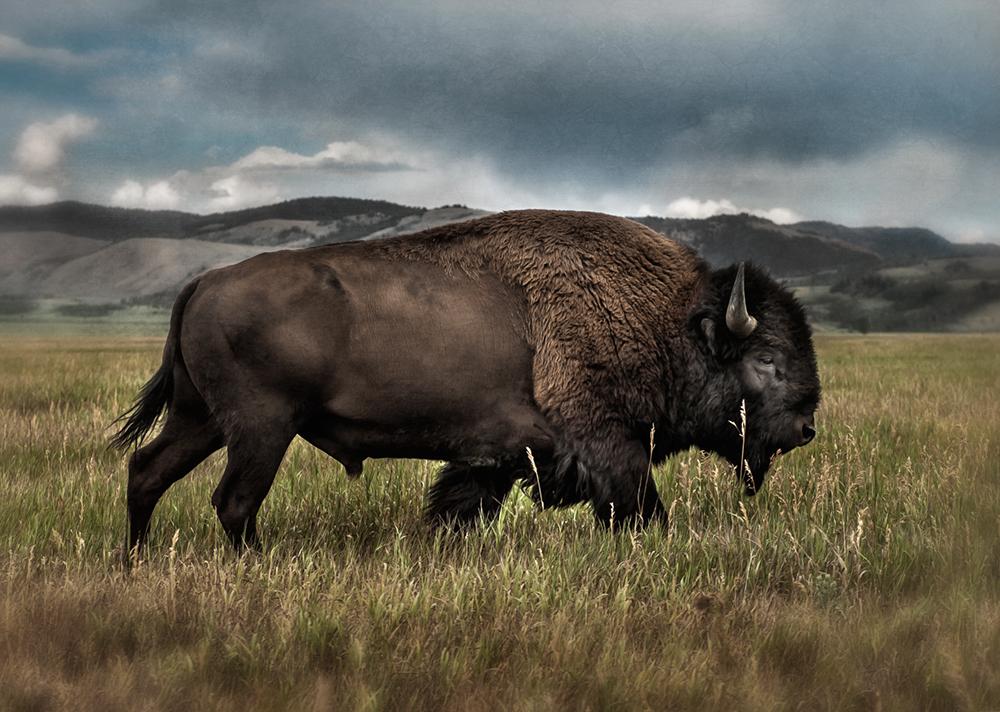 bison bull_tetons