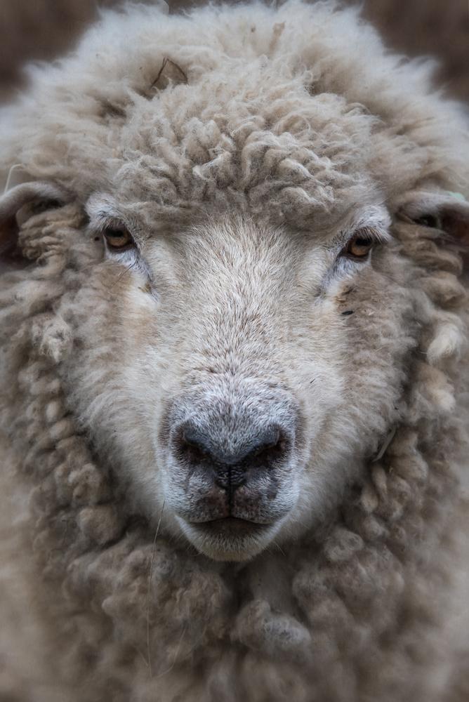 sheep_2017_07