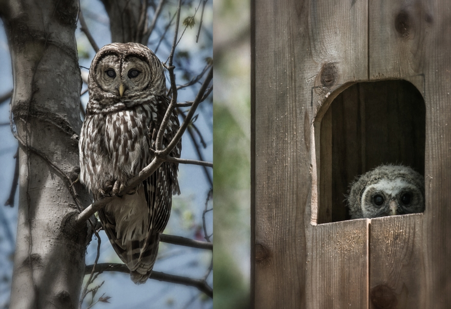 barred owl_female_chick