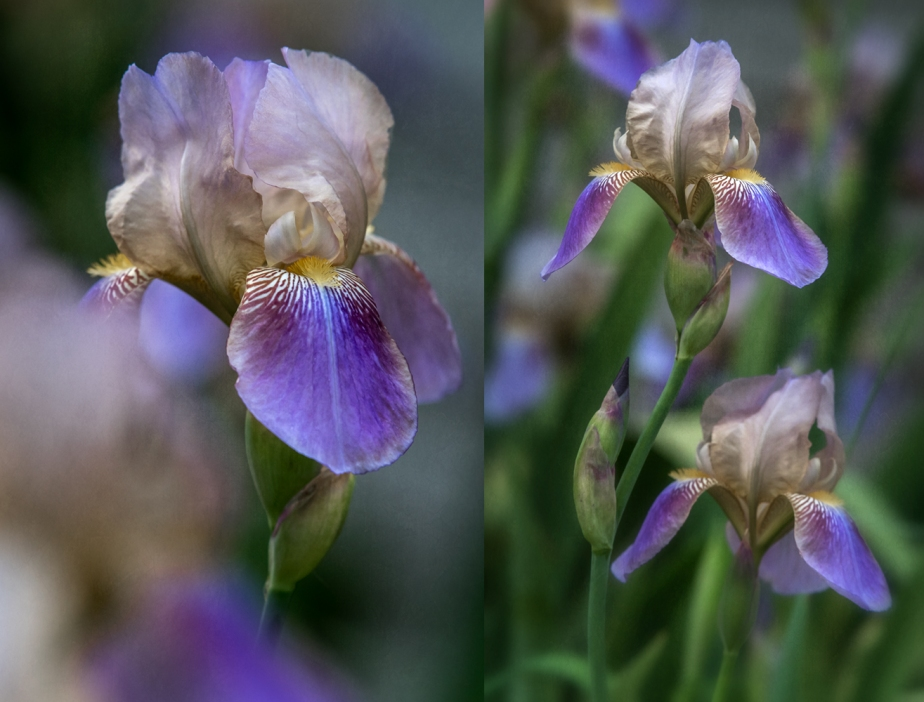 purple iris_2017_group