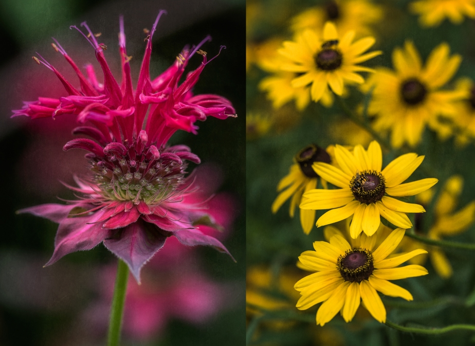 bee balm_black eyed susan