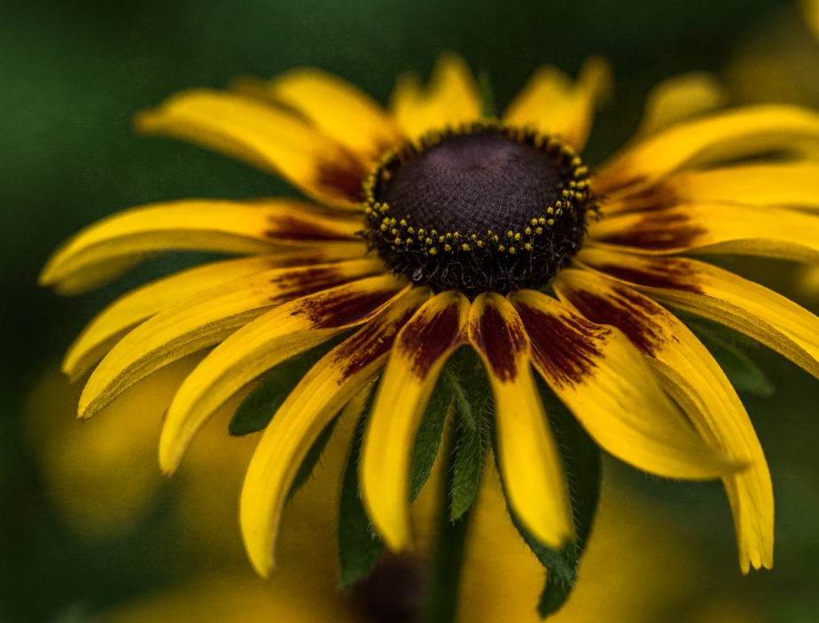 black eyed susan_2017.jpg