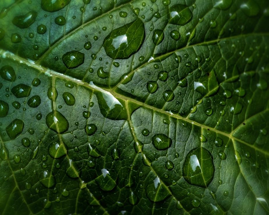 water drops_hydragnea_01