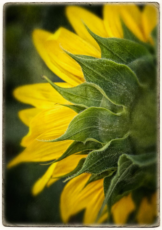 sunflower_redo