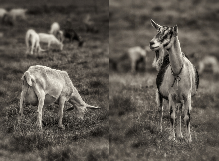 lindale dairy_goats_group_01.jpg