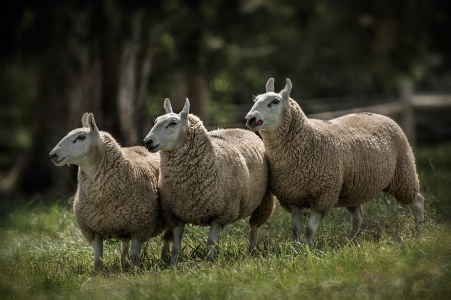 rising meadow_working sheep_2017_06