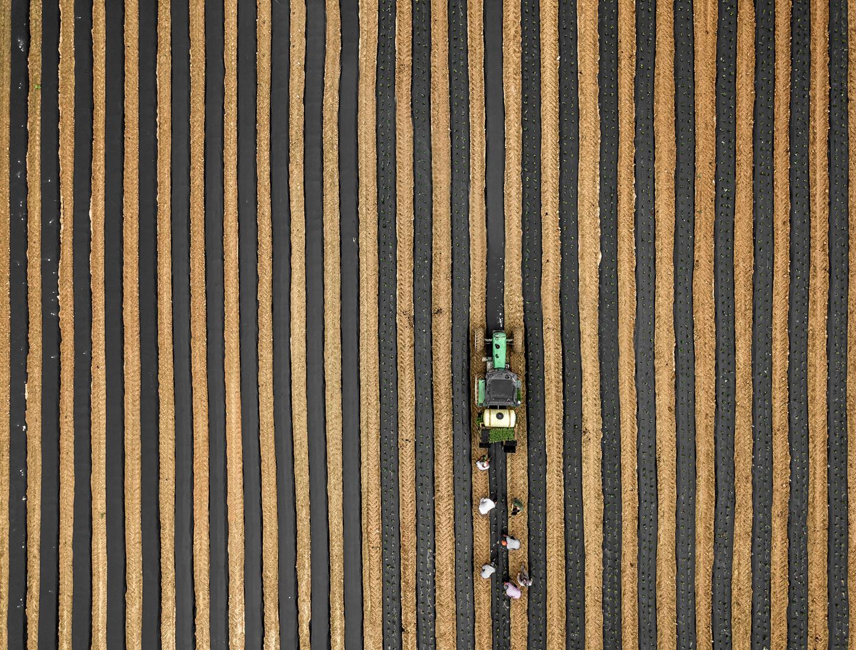 planting strawberries_drone_03