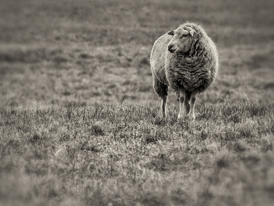solitary sheep_hoiz_bw