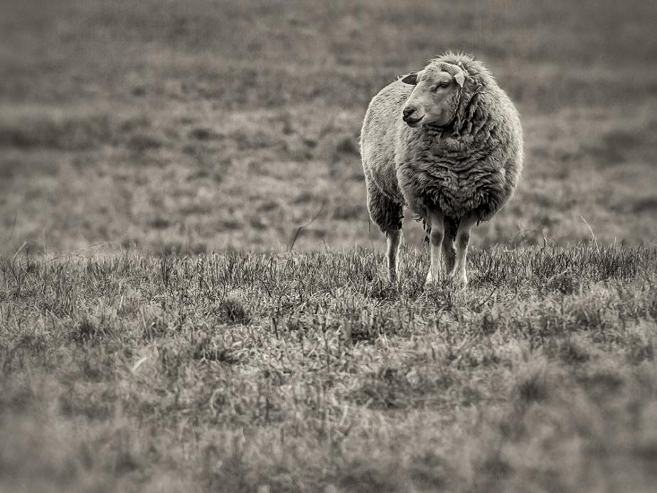 solitary sheep_hoiz_bw