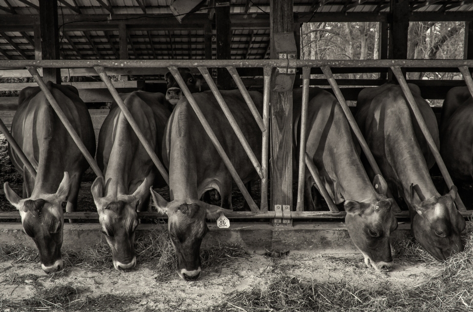 chapel hill creamery_cows_03