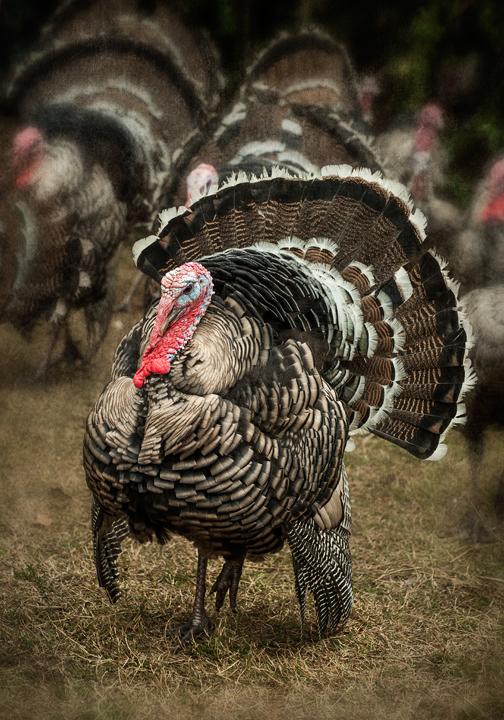 turkeys_2012_07