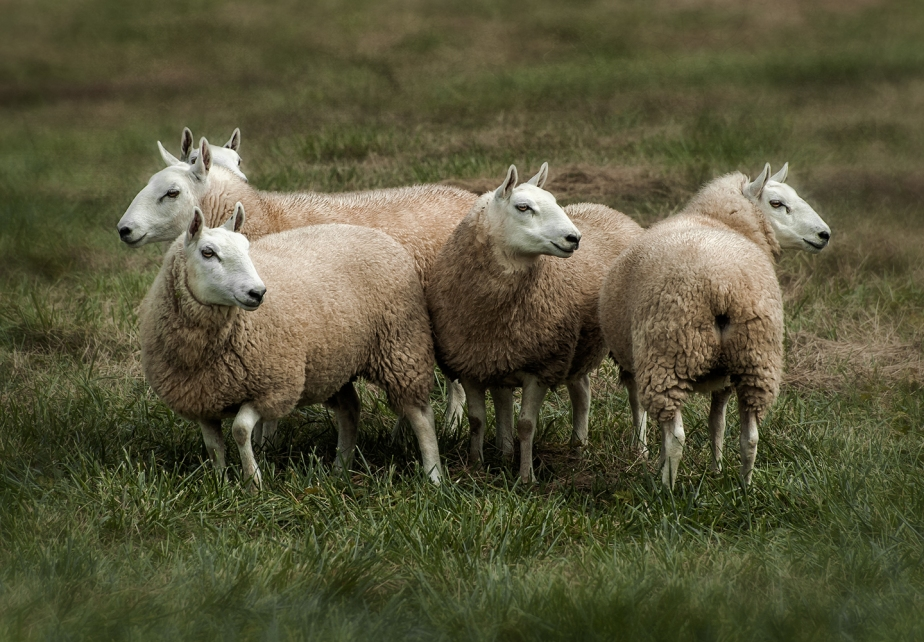 cheviot sheep_color