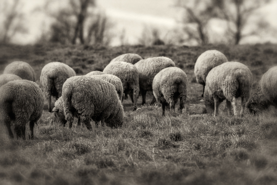 rising meadow_2018_sheep_04