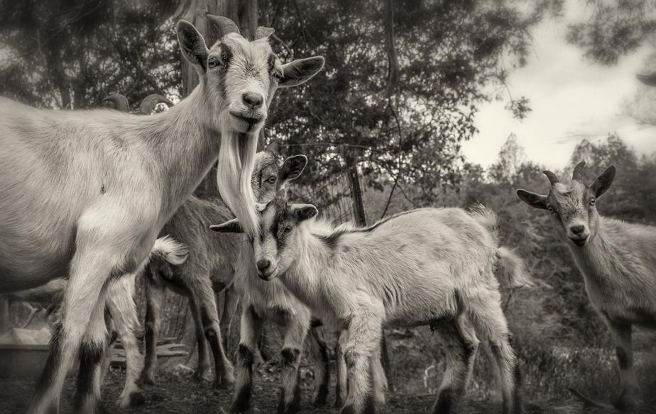 goat lot_bw