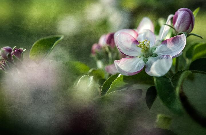 apple blossom_2013_2