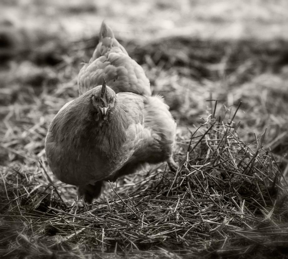buff hen_scratching_rmf_2018