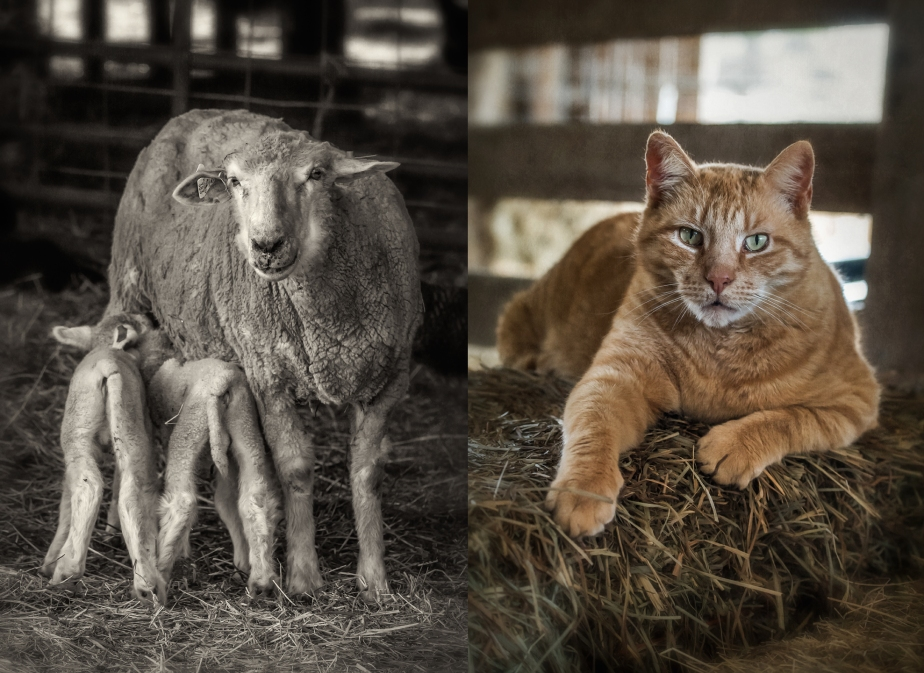 rising meadow_ewe_lamb_cat_group