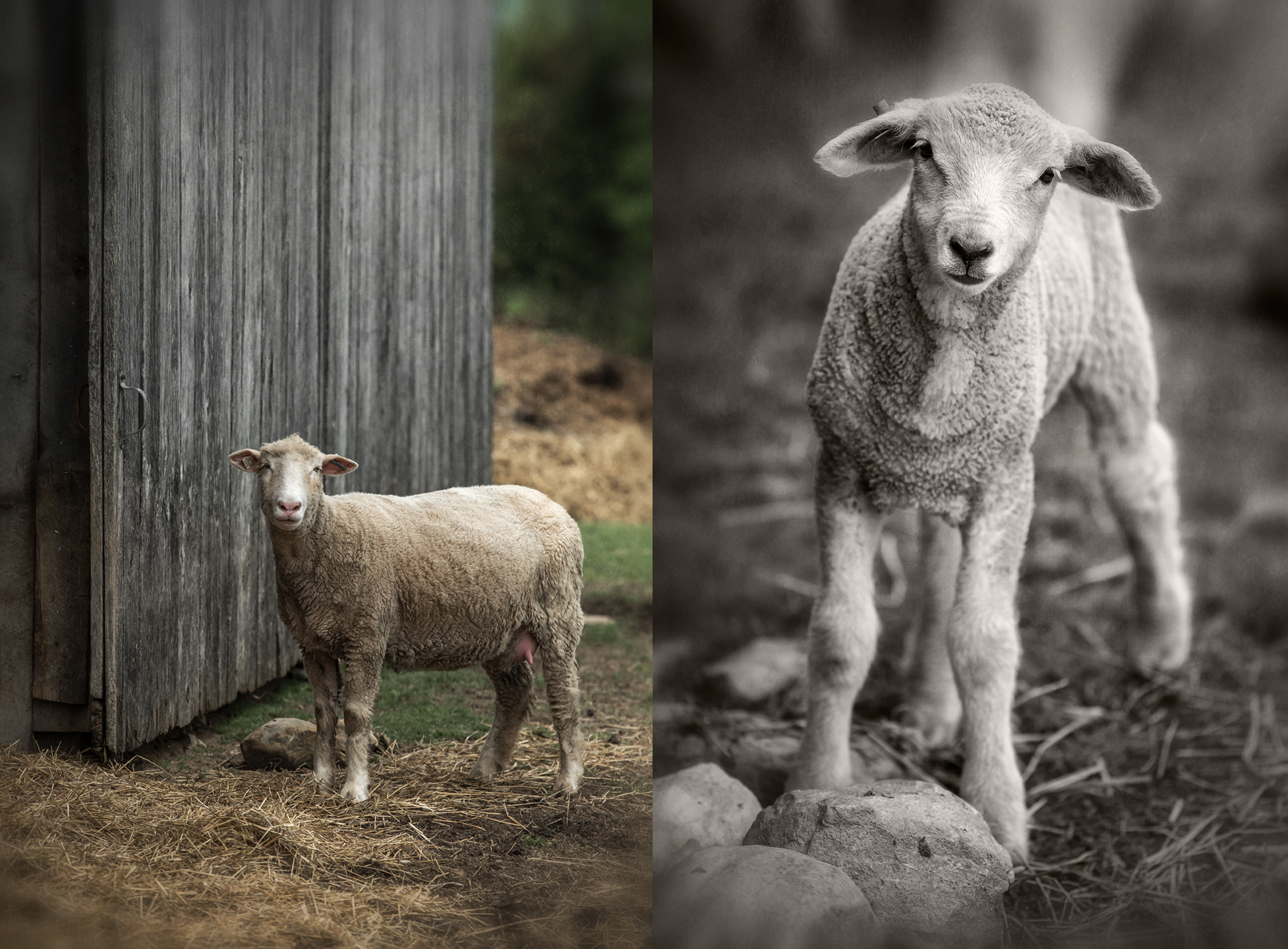 single lamb_single sheep_rmf_2018_group
