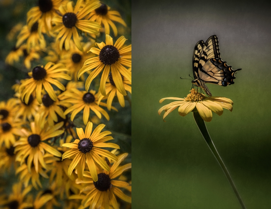 black eyed susan_butterfly_group