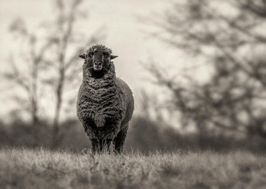 shearing_2018_05