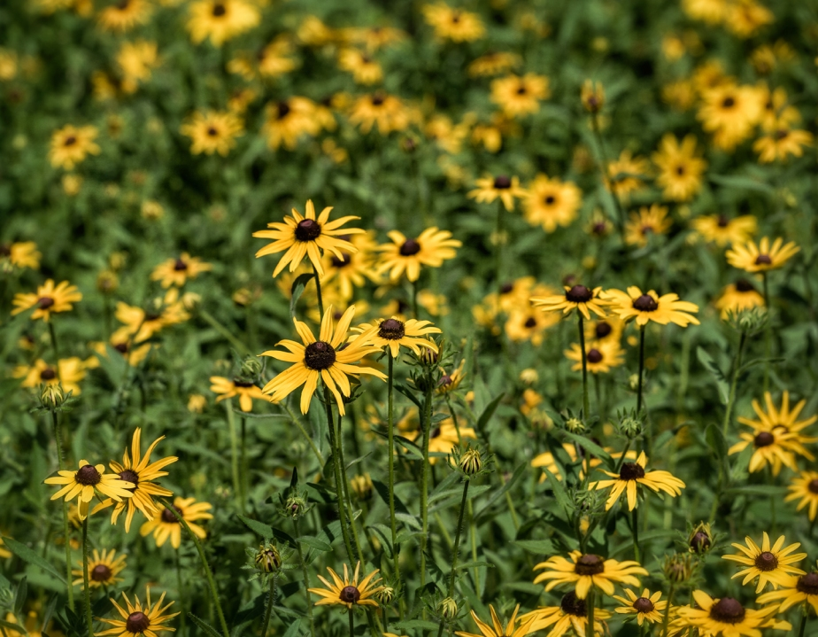 yard_black eyed susans