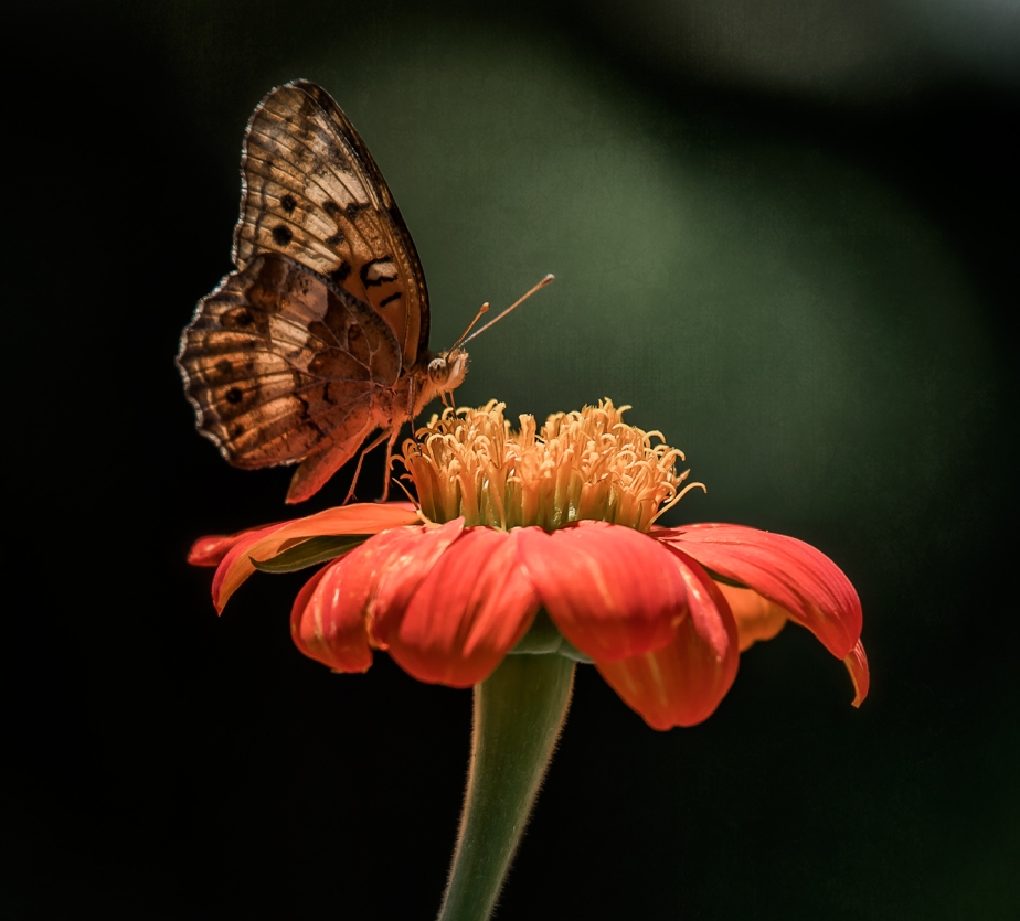 fritillary_mexican sunflower_05