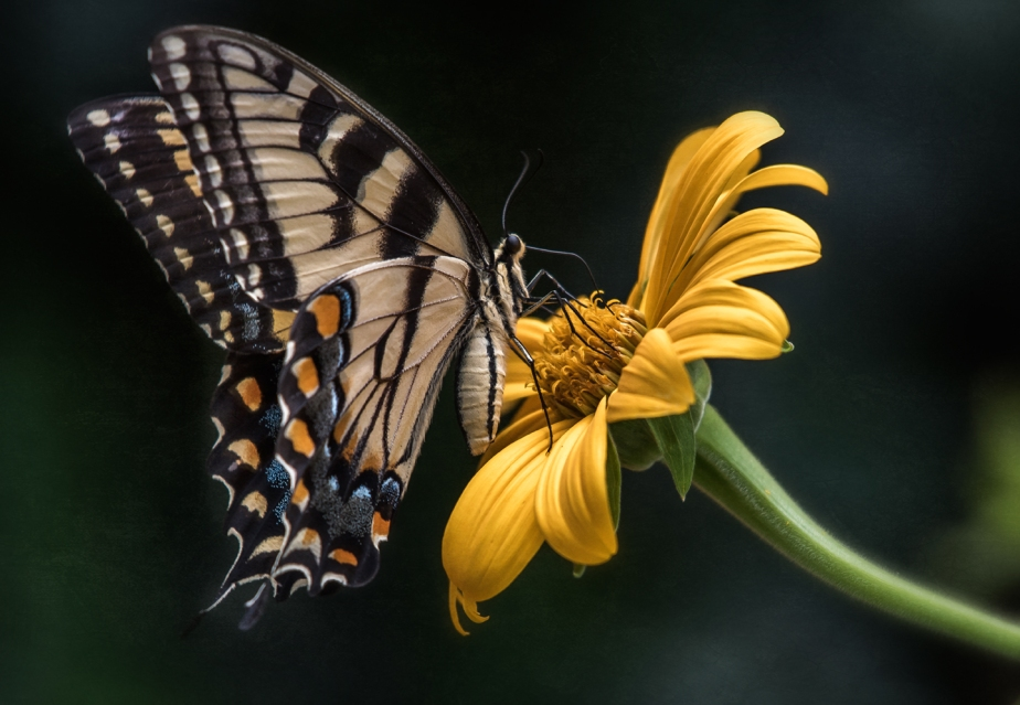 tiger swallowtail_yellow flower_2018