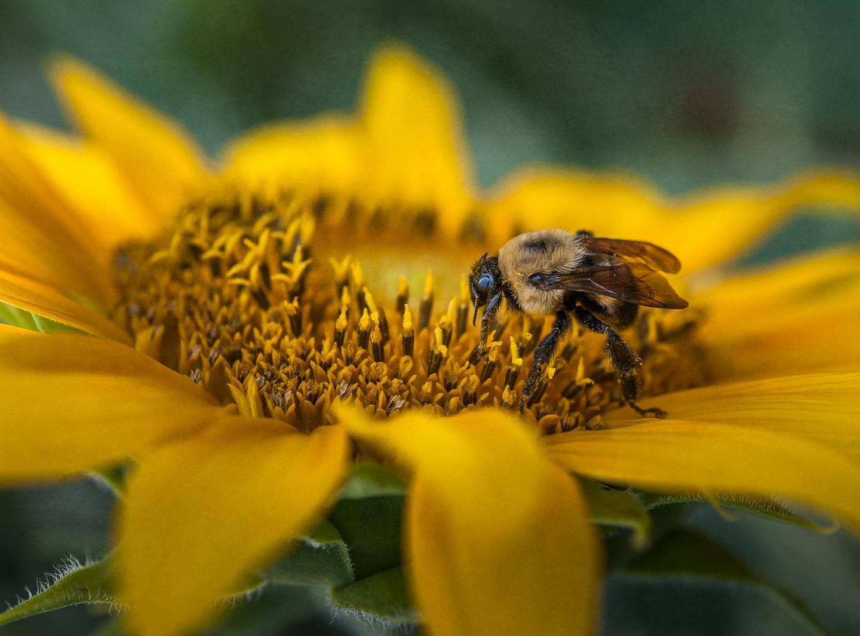 sunflower_bee_closeup