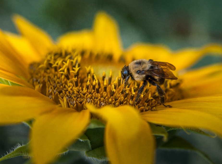 sunflower_bee_closeup