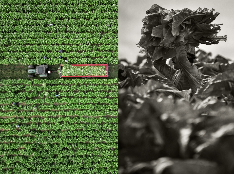 whitaker_tobacco harvest_drone_group_04