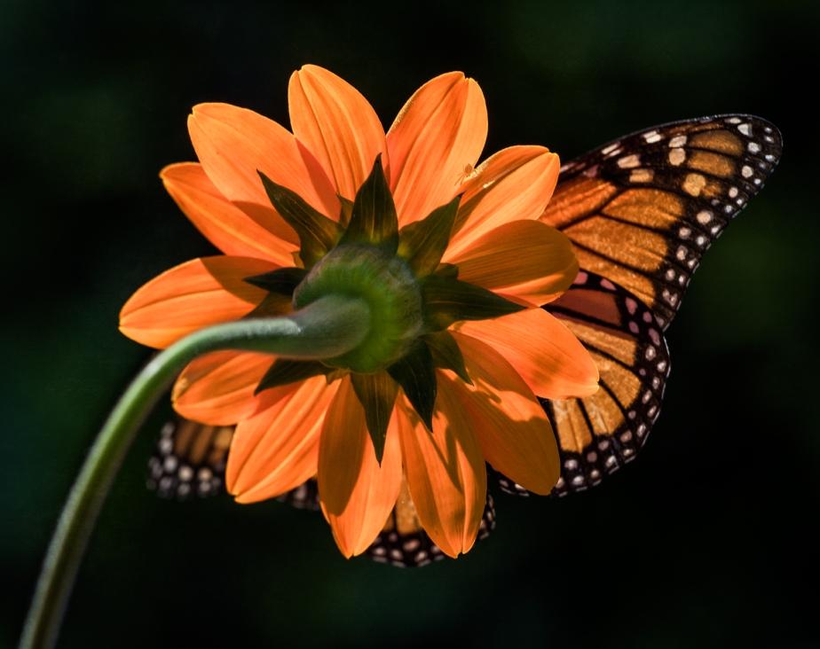 backlit sunflower_monarch_crab spider