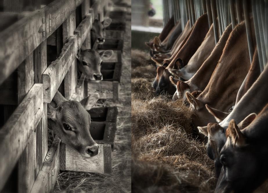 ch creamery_cow_calf_group